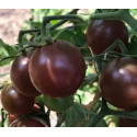 Black Cherry (Copyright tomatofest.com)