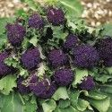 Purple sprouting