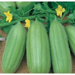 Barese komkommer